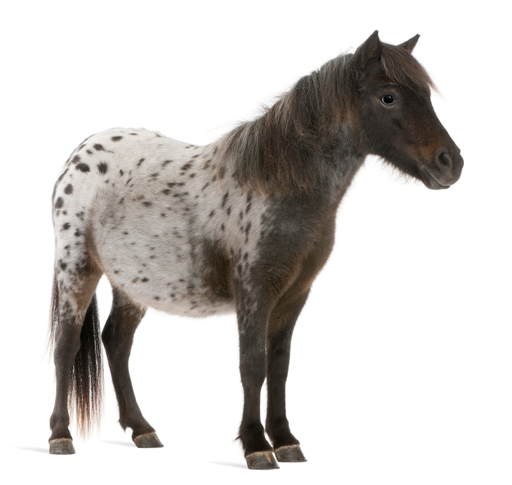 Black and white miniature horse.