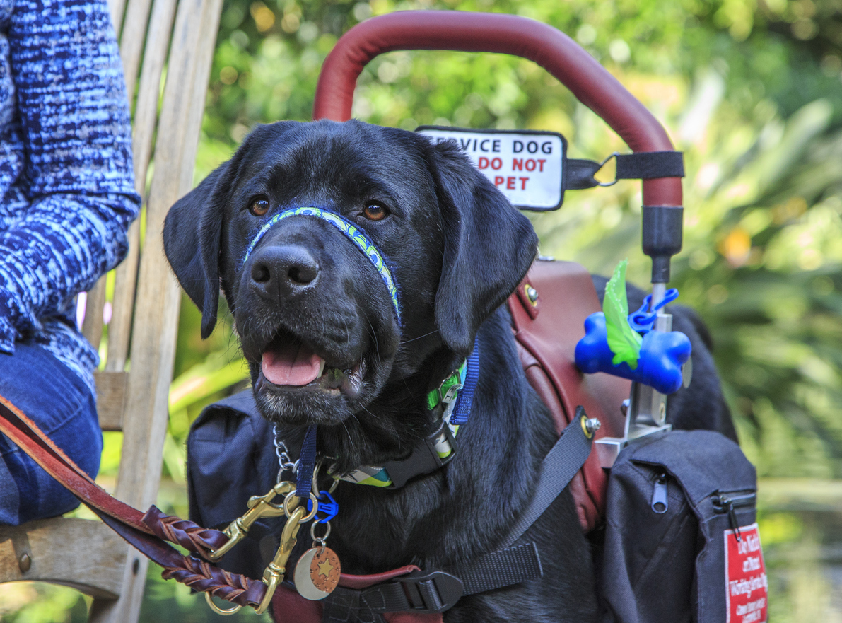 Service dog with Do Not Pet sign on harness.